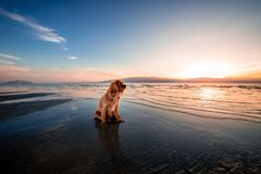 Brown Long Coated Medium Breed Dog Sitting on Top of Blue Body of Water during Day Time Royalty Free Stock Images