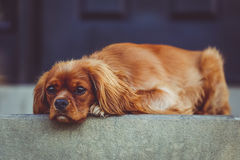 Brown Long Coated Short Dog Lying on the Grey Gound Stock Image