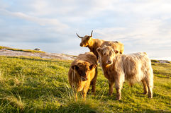 Brown long hair cows Stock Photography