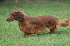 Brown Long Hair Dachshund Dog. Brown long haired dachshund dog on a leash Stock Photos