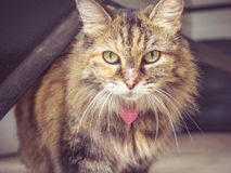 Brown Long Haired Cat Royalty Free Stock Image
