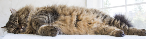 Brown long haired cat of siberian breed sleeping time. Brown cat of siberian breed, long haired stock images
