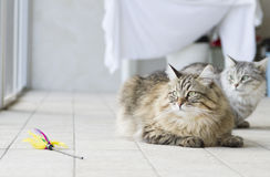 Brown long haired cat with a toy Stock Images