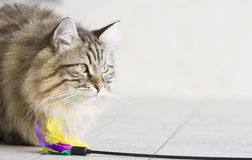 brown long haired cat with a toy Royalty Free Stock Photography