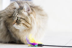 brown long haired cat with a toy Royalty Free Stock Images