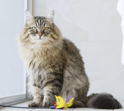 brown long haired cat with a toy Stock Photo