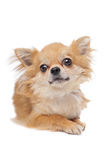Brown long haired chihuahua Stock Photography