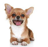 Brown long-haired chihuahua puppy. Lying on a white background Stock Photo