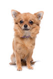 Brown long haired Chihuahua. Sitting in front of a white background Royalty Free Stock Image