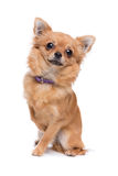 Brown long haired Chihuahua. Sitting in front of a white background Stock Photos