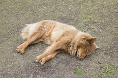Brown long-haired dog Stock Image