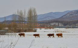 Brown long hairs cows in snow landscape stock photo