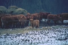 Brown long hairs cows in snow landscape. The livestock on a farm walks on snow . Cows and snow Royalty Free Stock Images