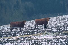 Brown long hairs cows in snow landscape. The livestock on a farm walks on snow . Cows and snow Royalty Free Stock Photos