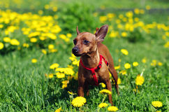 Brown long Toy Terrier in flowers. Brown long Toy Terrier stands in grass and yellow flowers outside Stock Image