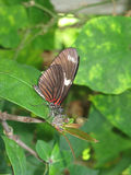 Brown Longwing Butterfly. Resting on a leaf and a twig Stock Images