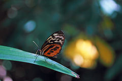 Brown Longwing Butterfly. Resting on a leaf Royalty Free Stock Image