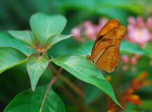 Brown longwing Butterfly insect. Feeding on a green leaf Stock Photography