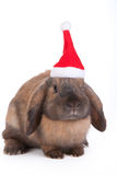 Brown lop eared dwarf rabbit Stock Photo