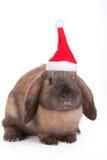 Brown lop eared dwarf rabbit Stock Photo