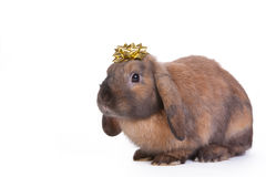 Brown lop eared dwarf rabbit Royalty Free Stock Photo
