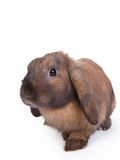 Brown lop eared dwarf rabbit, isolated Royalty Free Stock Photos