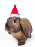 Brown lop eared dwarf rabbit in santa, isolated Royalty Free Stock Photo