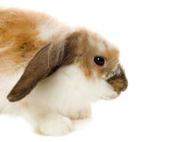Brown lop-eared rabbit Royalty Free Stock Images