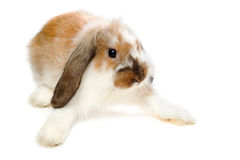 Brown lop-eared rabbit. Isolated on white Stock Photos