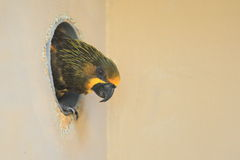 Brown lory Stock Images