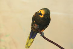 Brown lory Royalty Free Stock Photography