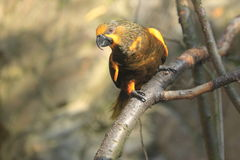 Brown lory Stock Photos