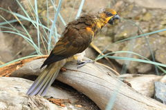 Brown lory Stock Photography