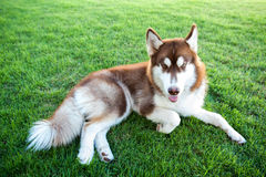 Brown lovely dog lay down on green grass field Royalty Free Stock Photo