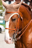 Brown Lusitano häst Royaltyfri Bild