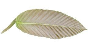 Brown a m?lang? des couleurs tropicales vertes de feuilles d'isolement sur les milieux blancs image libre de droits