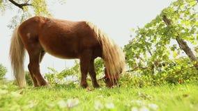Brown mały koń pasa na je trawy, zakończenie, brown konik łąkowym, małym koniu, zbiory wideo