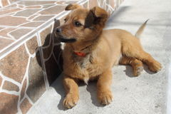 Brown małego psa pozycja na wszystkie fours Obraz Stock