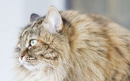 Brown mackerel siberian cat outdoor, long haired kitten Royalty Free Stock Images