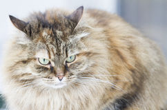 Brown mackerel siberian cat outdoor, long haired kitten Stock Images