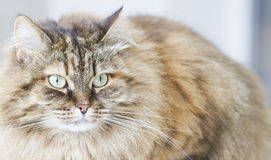 Brown mackerel siberian cat outdoor, long haired kitten. Long haired cat of siberian breed brown mackerel version Stock Images