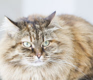 Brown mackerel siberian cat outdoor, long haired kitten Royalty Free Stock Photo