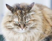 Brown mackerel siberian cat outdoor, long haired kitten. Long haired cat of siberian breed brown mackerel version Stock Image