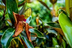 Brown magnolia flower on a bush Stock Photos