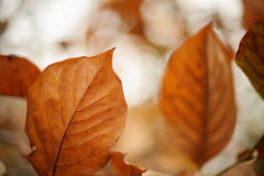 Brown magnolia leaves Stock Photo