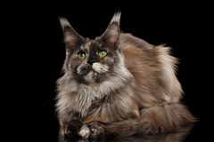 Brown Maine Coon Cat Lying, Looks Curious, Isolated Black Background. Brown Maine Coon Cat Lying and Looks Curious Isolated on Black Background, Front view Royalty Free Stock Photos