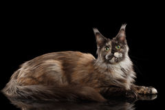 Brown Maine Coon Cat Lying, Looks Curious, Isolated Black Background. Brown Maine Coon Cat Lying and Looks Curious Isolated on Black Background, Side view Stock Photography
