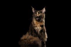 Brown Maine Coon Cat Sitting und miauender lokalisierter schwarzer Hintergrund Lizenzfreie Stockfotos