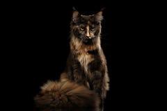 Brown Maine Coon Cat Sitting und verärgerte Blicke lokalisierte Schwarzes Lizenzfreie Stockfotografie