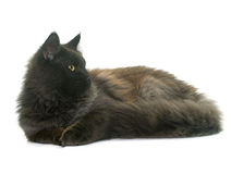 Brown maine coon. In front of white background Stock Photography